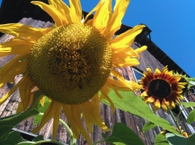 Sunflowers_4122